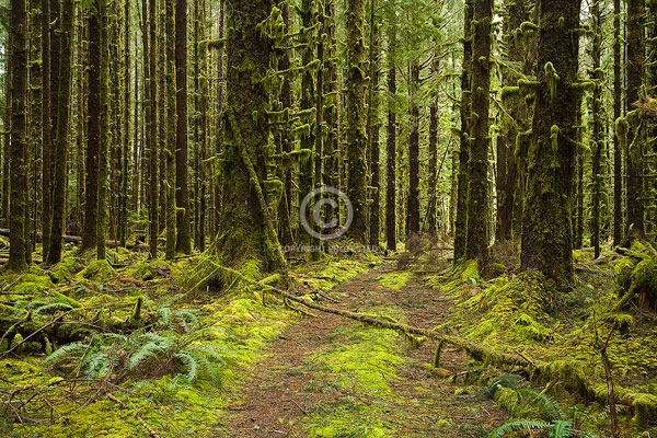 digital, dirt roads, hoh rain forest, horizontal, moss, national parks, olympic national park, pacific northwest, rain forests, trees, washington state, winter, featured