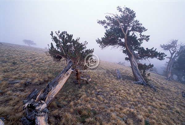 bristlecone pines, colorado, fog, horizontal, mount bross, summer, trees, windy ridge, featured