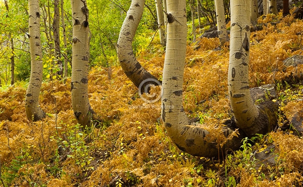 aspen trees, autumn, colorado, digital, fall colors, ferns, front range, horizontal, national parks, rocky mountain national park, featured