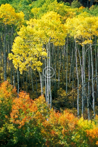aspen trees, forests, autumn, fall colors, mcclure pass, vertical, colorado, featured
