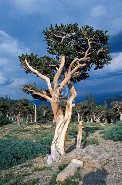 colorado, trees, forests, vertical, summer, mount evans, mt. goliath natural area, bristlecone pine, bristlecones, front range, featured