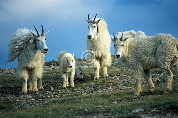 colorado, horizontal, animals, wildlife, mountain goats, baby, webster pass, summer, featured
