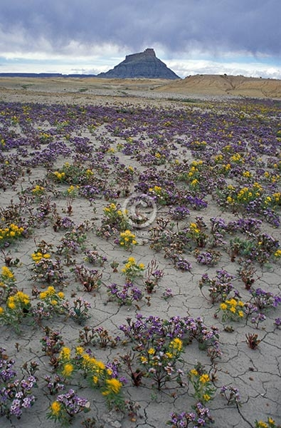 utah, vertical, desert, flowers, wildflowers, buttes, desert, factory butte, summer, san rafael swell, storm clouds, featured