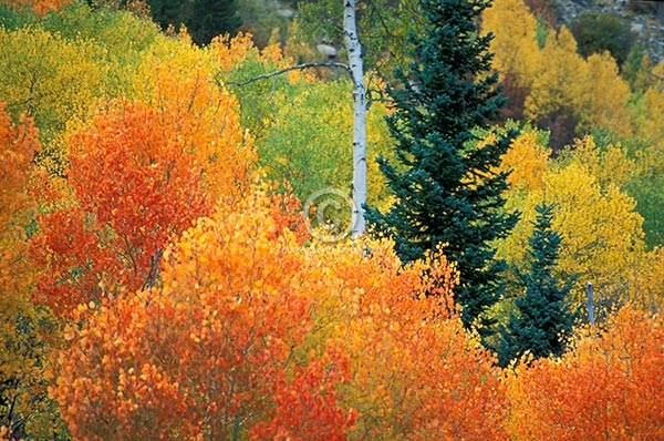 colorado, horizontal, forests, aspen trees, autumn, mcclure pass, fall colors, pine trees, featured