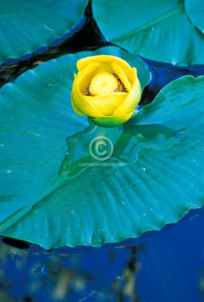 flowers, water lilies, vertical, close ups, colorado, lily pads, wildflowers, summer, featured
