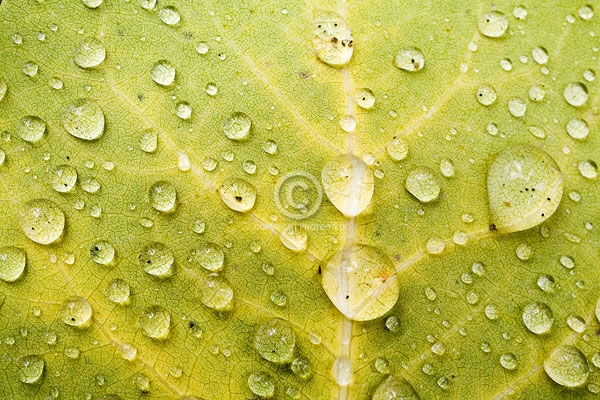 colorado, san juan mountains, aspen leaves, autumn, close ups, dew drops, digital, horizontal, leaf, macro, featured